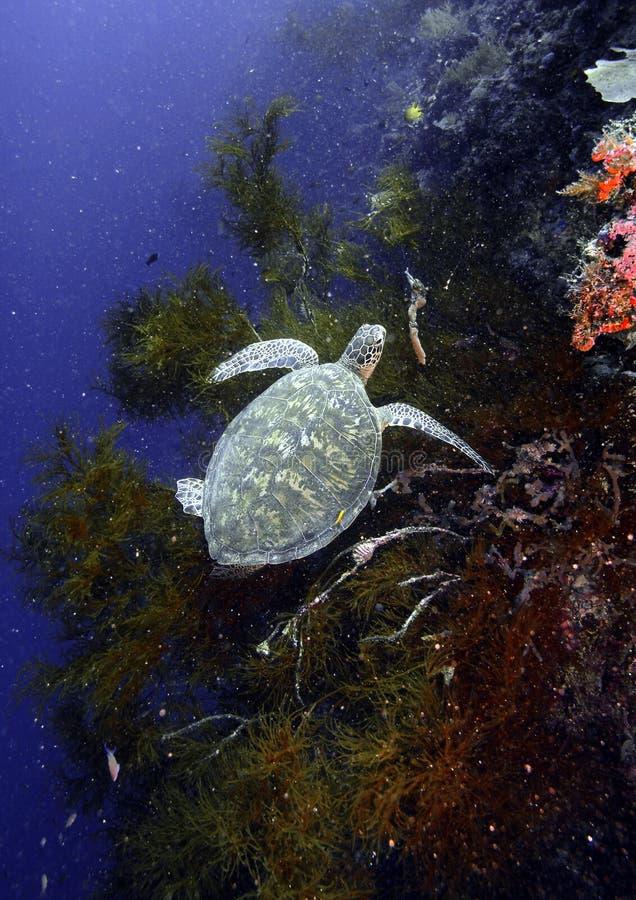 绿浪乌龟,西巴丹岛海岛,沙巴 免版税库存图片
