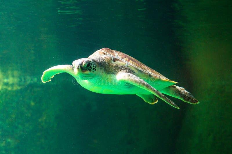 绿浪在博物馆水族馆的乌龟游泳 库存图片