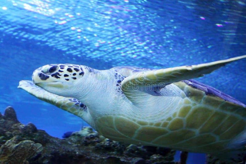 绿浪游泳乌龟 图库摄影