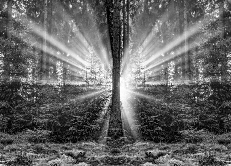 浪漫日出在清早在有明亮的光束的森林里 库存照片