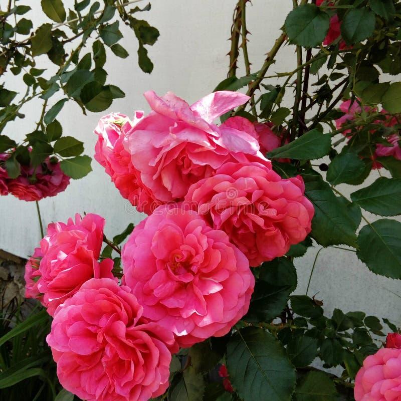浪漫桃红色玫瑰 库存图片
