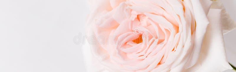 浪漫横幅,精美白色桃红色上升了花特写镜头 芬芳桃红色瓣 库存图片