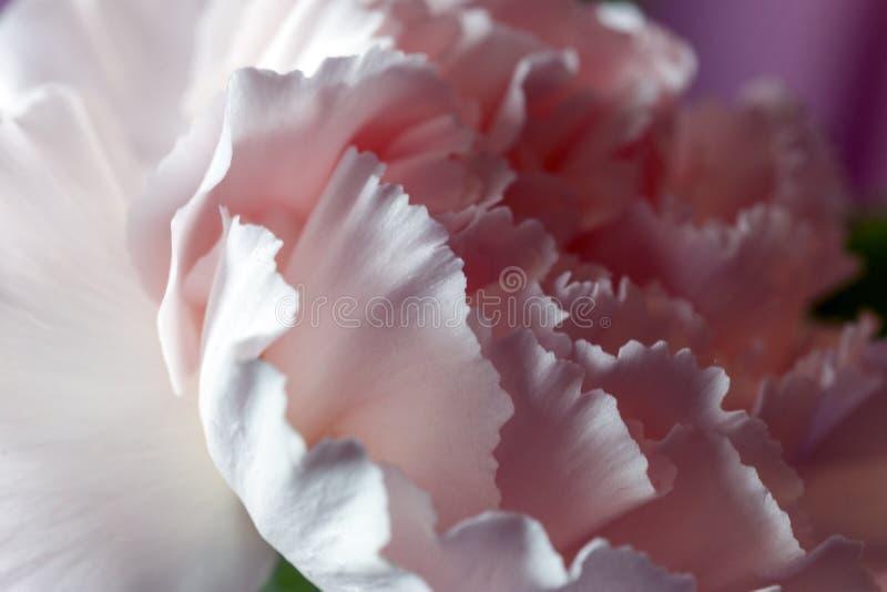 浪漫软的康乃馨瓣细节特写镜头在光和s的 免版税图库摄影