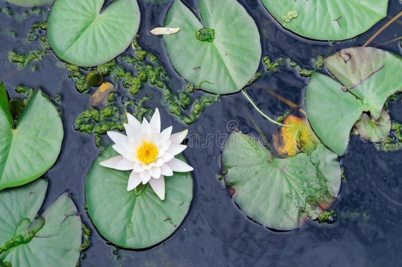 浪端的白色泡沫百合在公园的池塘,晨曲的星莲属 免版税库存图片