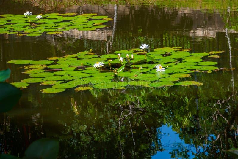 浪端的白色泡沫百合在池塘 库存照片