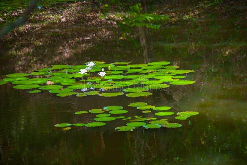 浪端的白色泡沫百合在池塘 免版税库存图片