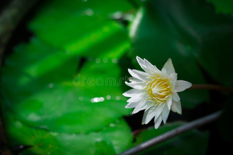 浪端的白色泡沫百合或白莲教花 在水池的莲花 免版税库存照片