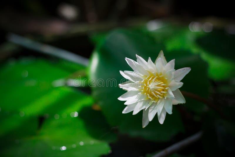 浪端的白色泡沫百合或白莲教花 库存照片