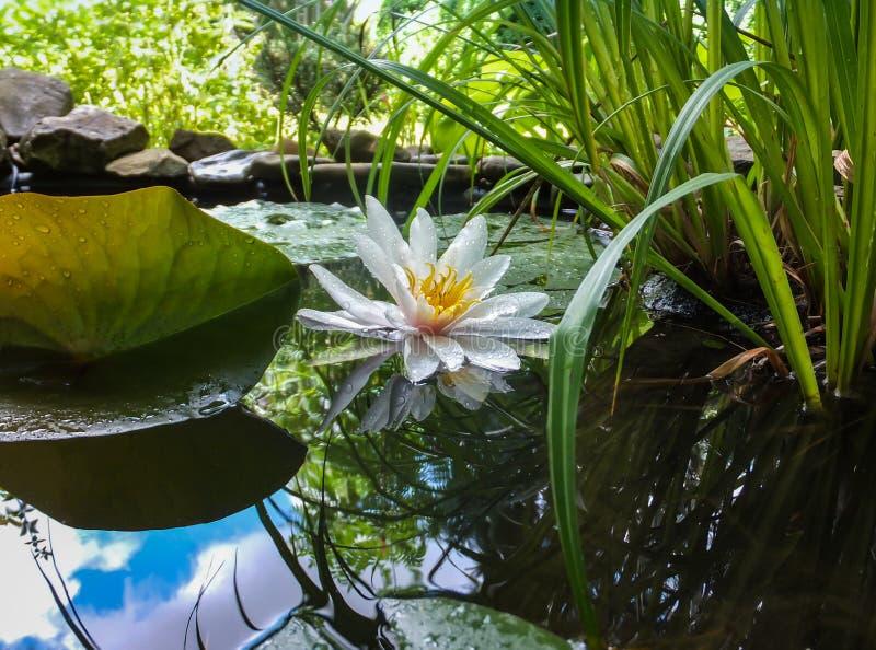 浪端的白色泡沫百合或莲花Marliacea Rosea在池塘有天空蔚蓝和叶子的水镜子反射了 库存照片