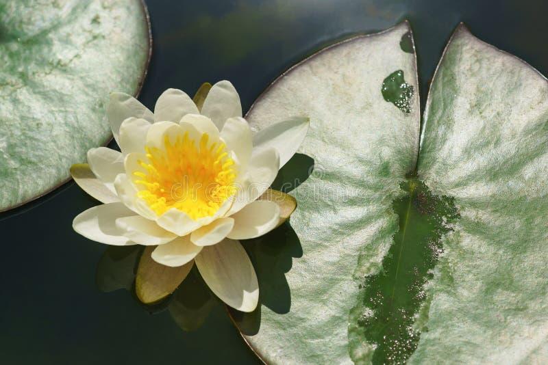 浪端的白色泡沫百合拉特 与一个黄色中心的星莲属在池塘 免版税库存照片