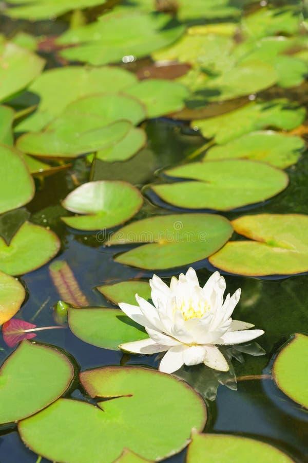 浪端的白色泡沫百合拉特 星莲属在池塘 库存照片