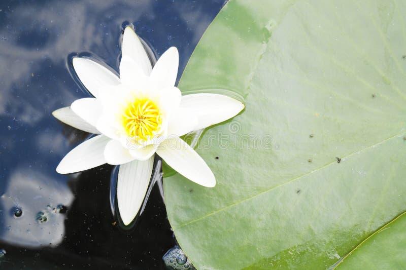 浪端的白色泡沫百合花和事假  库存图片
