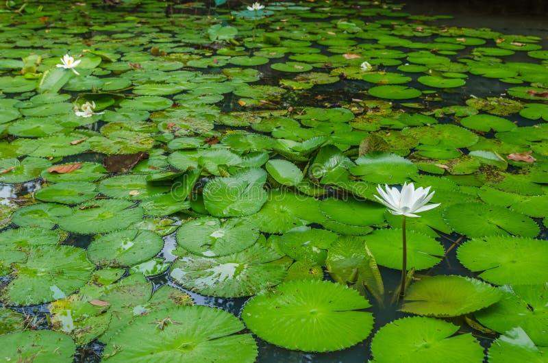 浪端的白色泡沫百合花在池塘 库存图片