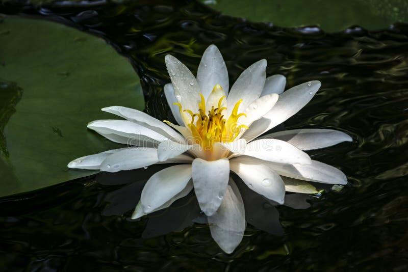 浪端的白色泡沫百合` Marliacea Rosea `星莲属在黑暗的ves背景的一个池塘  库存图片