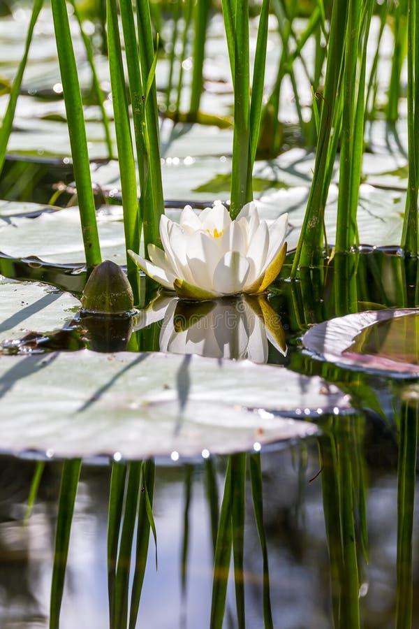浪端的白色泡沫睡莲(晨曲的星莲属)反射 免版税库存照片