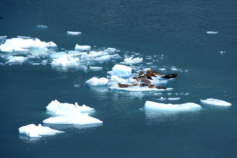 浮冰港口冰密封 免版税库存照片