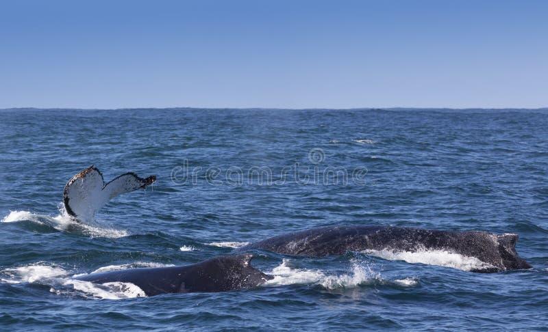浮出水面在离Knysna的附近海岸的三条驼背鲸  图库摄影