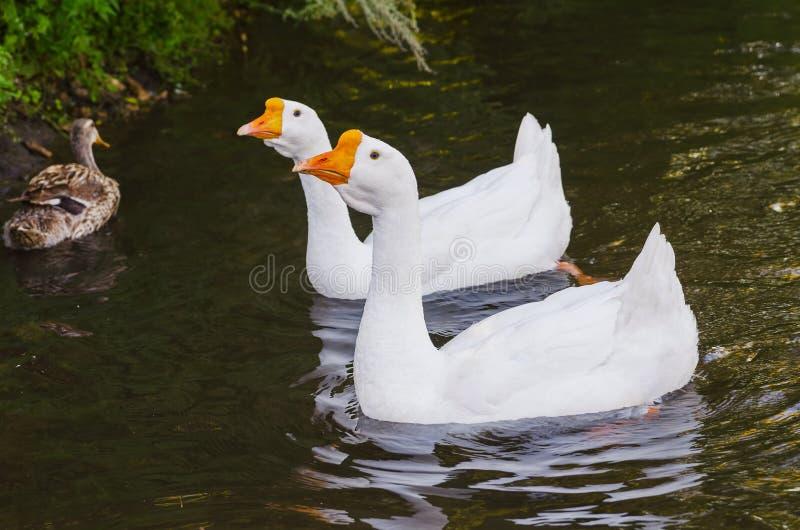 浮动对白色鹅 免版税库存图片