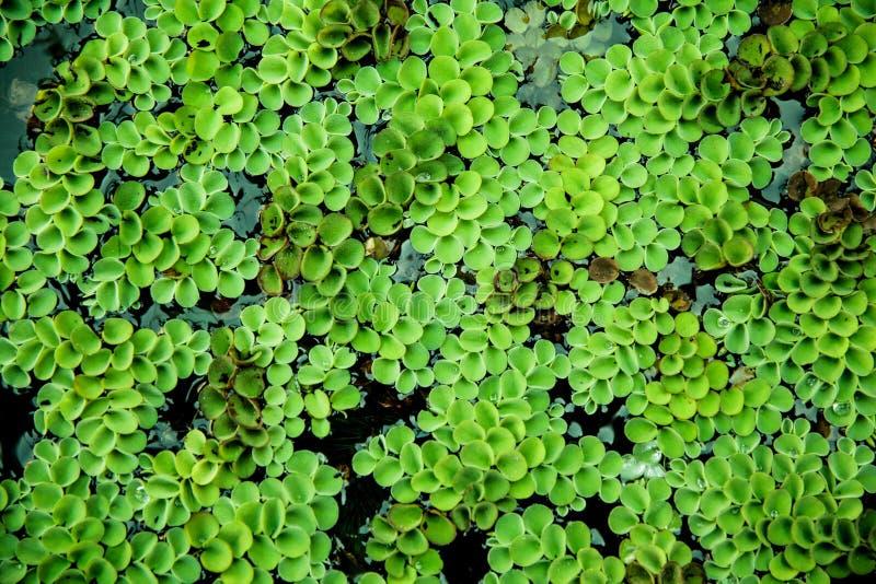 浮动植物,水生蕨类植物在鱼池 库存图片