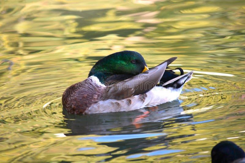浮动鸭子 库存照片