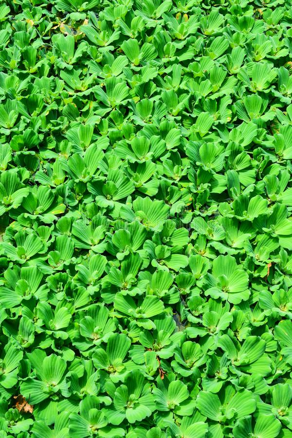 浮萍或水透镜,开花漂浮的水生植物 免版税库存图片