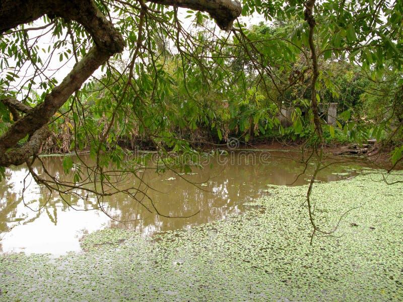 浮萍盖子的花村庄池塘 库存图片