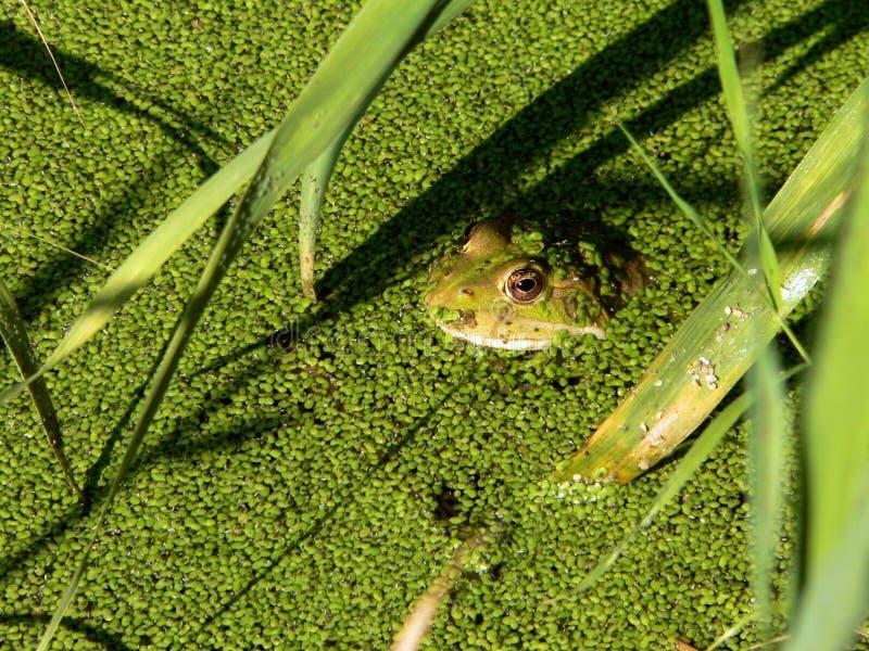 浮萍青蛙绿色 免版税库存图片