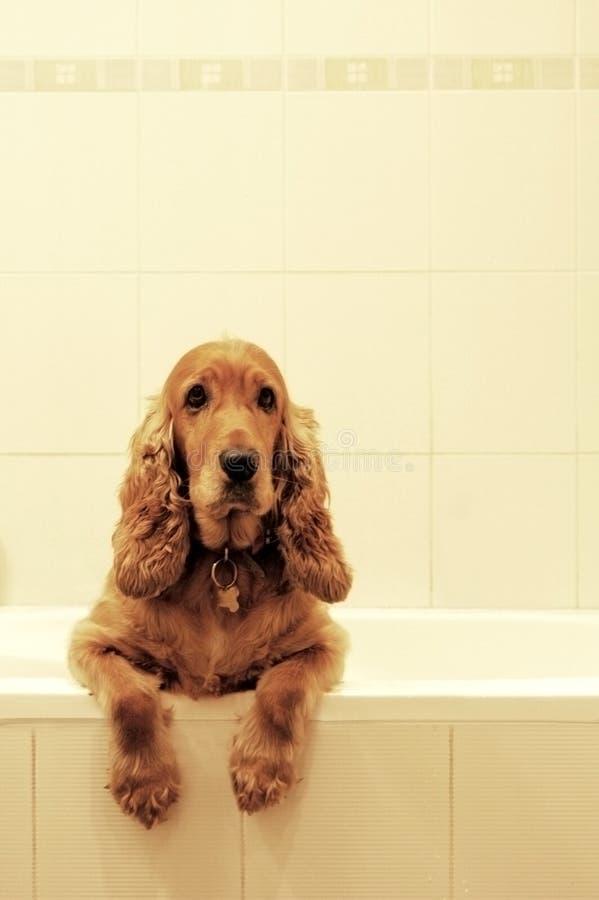 浴猎犬 免版税图库摄影