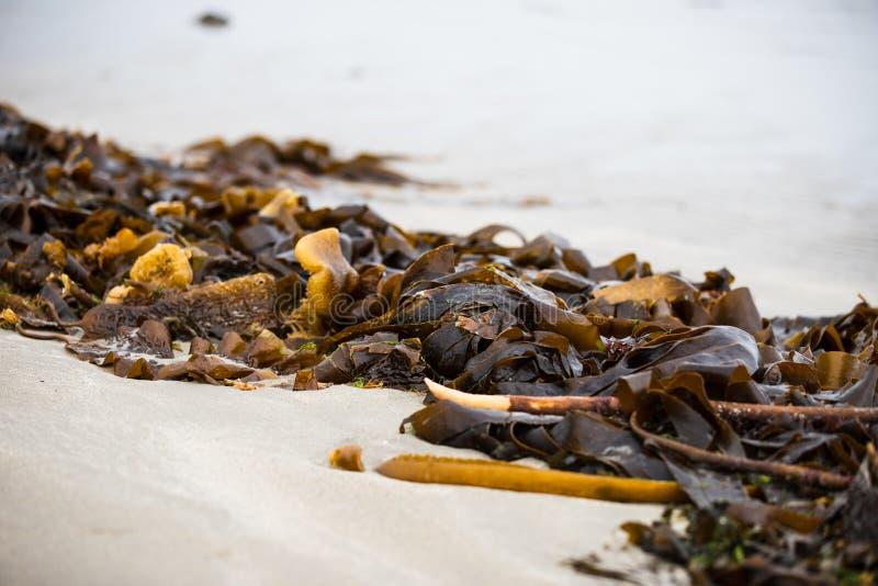 海海藻一条不尽的线被洗涤岸在大浪以后在Inchydoney海滩 免版税库存照片