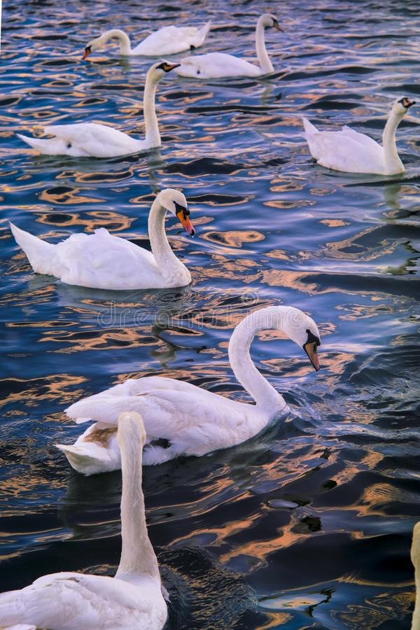 海上的天鹅 免版税图库摄影