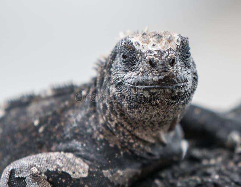 海产鬣蜥蜴加拉帕戈斯坐与微笑的一个岩石 库存照片