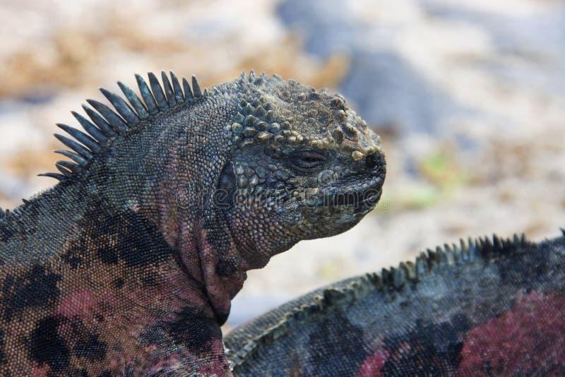 海产鬣蜥蜴-加拉帕戈斯群岛-厄瓜多尔 免版税库存照片