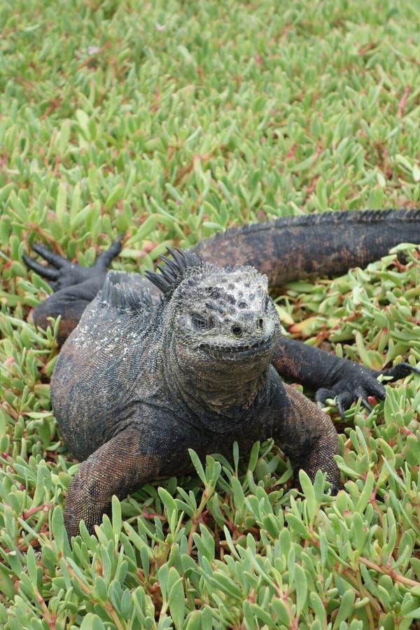 海产鬣蜥蜴-加拉帕戈斯群岛 免版税库存图片