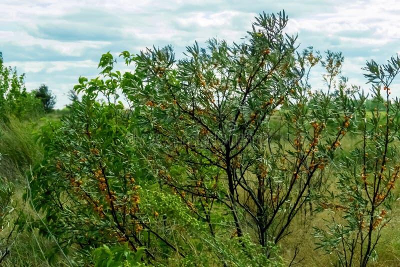 海以天空为背景的鼠李灌木 免版税库存照片