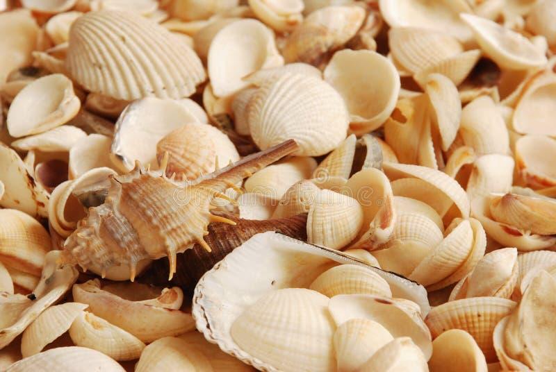 海壳,安达曼美好的海洋生活,泰国 免版税库存图片