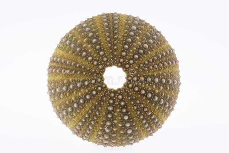 海壳绿色echinoidea宏指令的被隔绝的骨骼 图库摄影