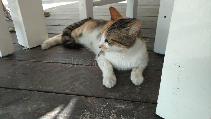 海岛猫 免版税图库摄影
