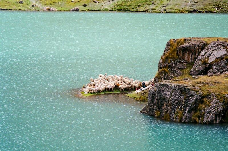海岛秘鲁剪的绵羊 图库摄影