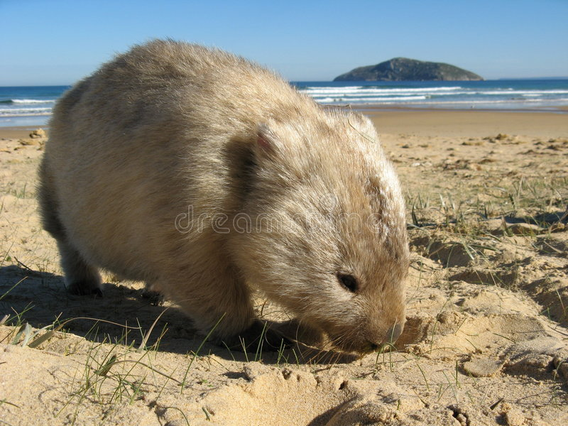 海岛wombat 免版税图库摄影