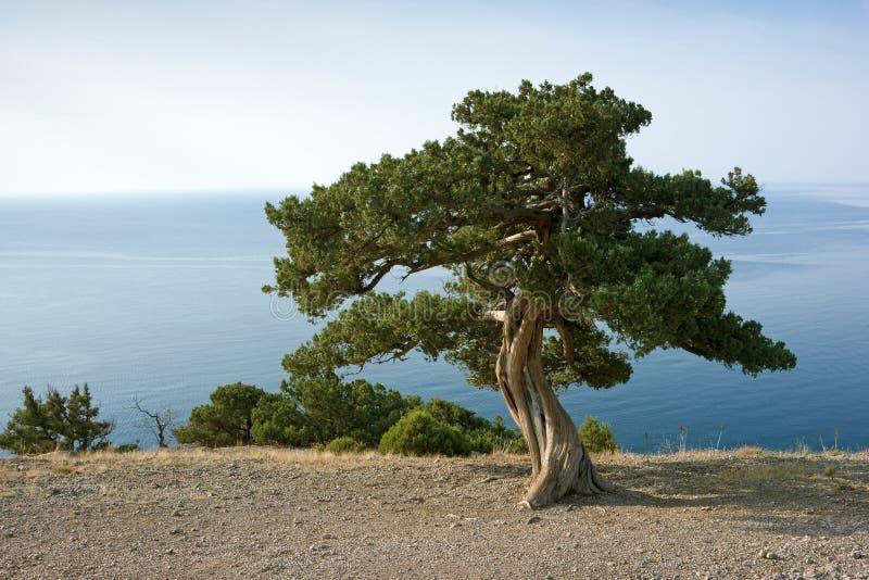 海岸杉木海运结构树 免版税图库摄影