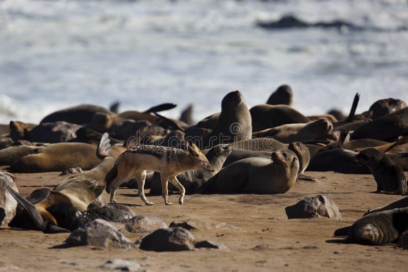 海岸殖民地毛皮狐狼密封概要 免版税库存图片
