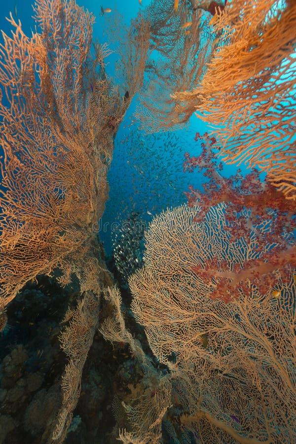 海底扇和glassfish在红海 库存图片