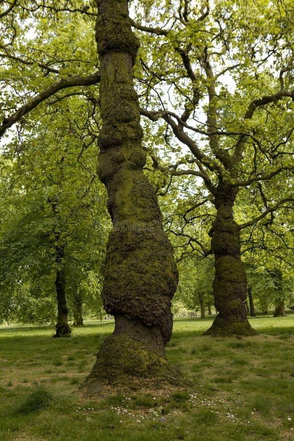 海德・伦敦公园结构树 免版税库存照片