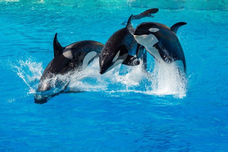 海怪虎鲸,当跳跃时 免版税库存图片