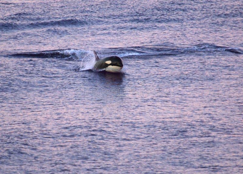 海怪(虎鲸)突破口 库存图片