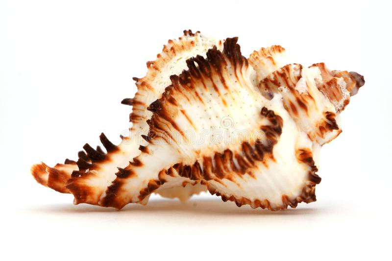 从海或海洋的海扇壳 免版税库存照片