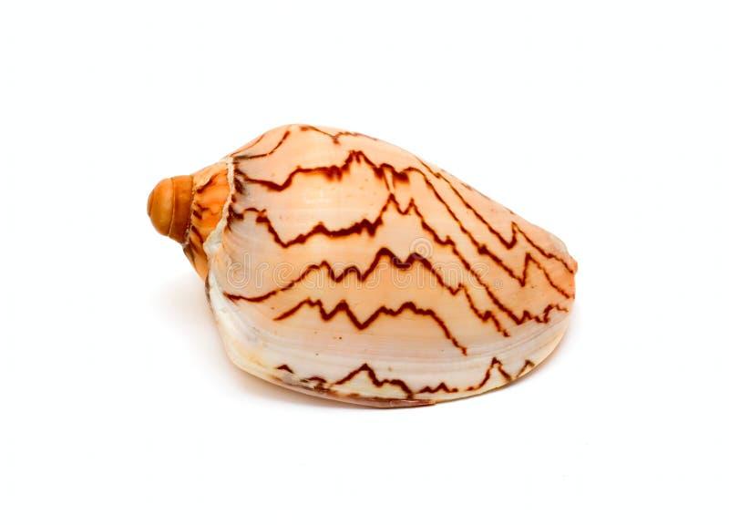 海扇壳海洋 库存图片