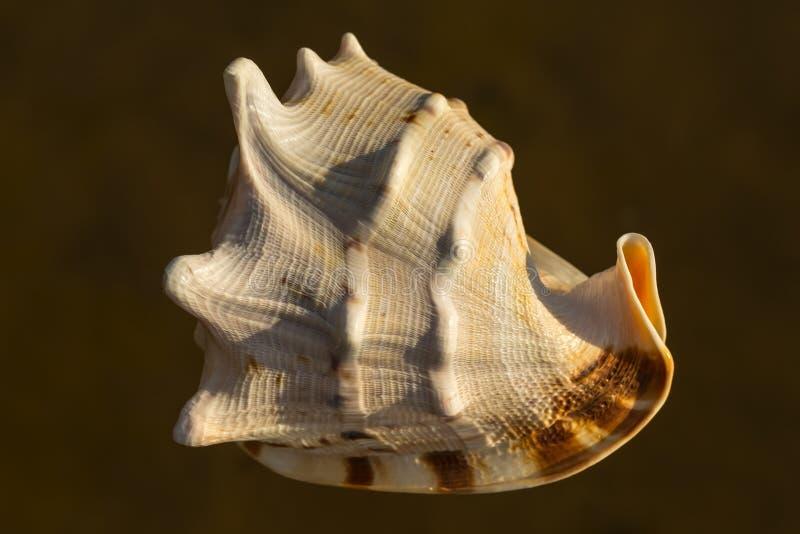海扇壳 免版税图库摄影