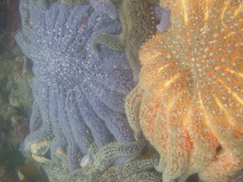 海星向日葵 库存照片