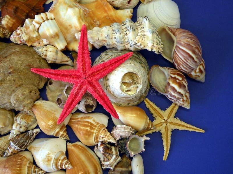 海星和壳 免版税库存图片